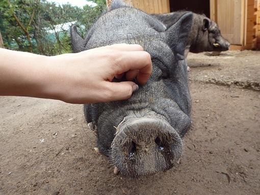 schweins2