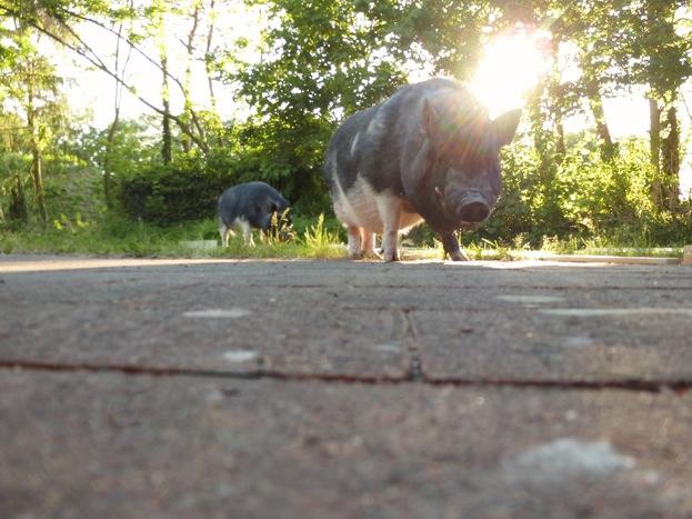 schweinsss_zpsd56f1bc3